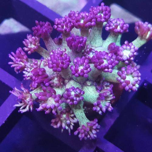Beschreibungsbild zu Corals-reeftech